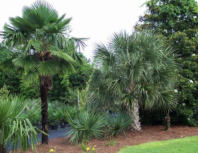 Sabal palmetto  Wikispecies